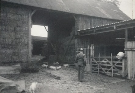 Pigs in the farmyard